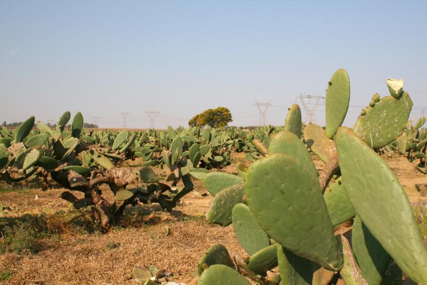 Fresh Nopales in South Africa